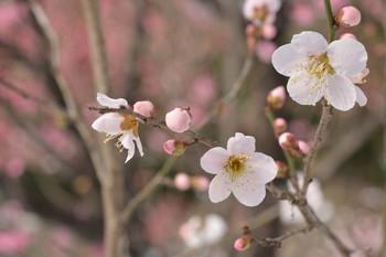 2014_02Koishikawa_korakuen6892b.JPG