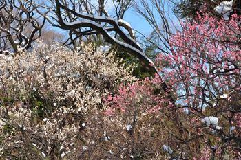 2014_02Koishikawa_korakuen6952b.JPG