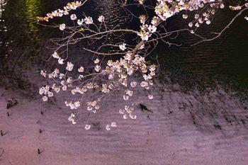 2014_04Chidorigafuchi6538b.JPG