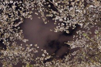 2014_04Chidorigafuchi6591b.JPG