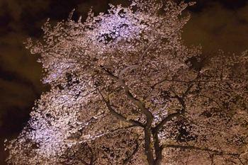 2014_04Chidorigafuchi6660b.JPG