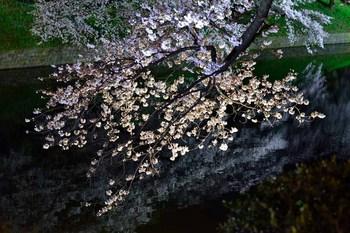 2015_03Chidorigafuchi2622c.jpg