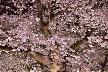 2015_03Chidorigafuchi2682c.jpg