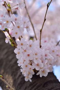 2015_03Kandagawa2_2777c.jpg