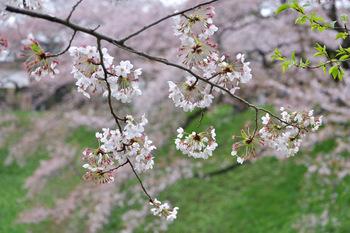 2015_04Kudan_Iidabashi3174c.jpg