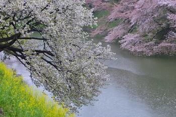 2015_04Kudan_Iidabashi3191c.jpg