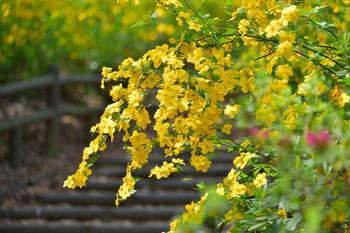 2015_04Shakujii3456c.jpg