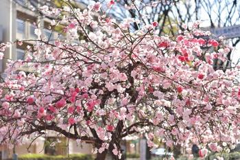 2015_04Shidaremomo3051c.jpg