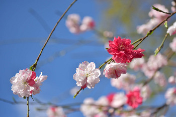2015_04Shidaremomo3103c.jpg